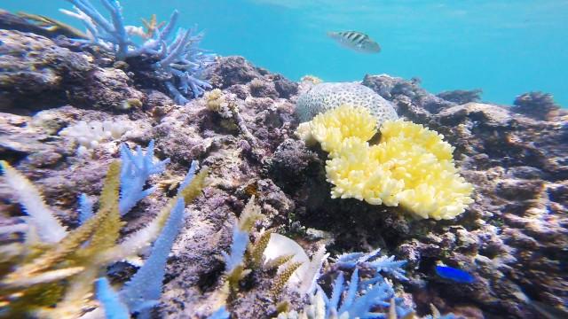 サンゴの白化 長間浜(来間島)