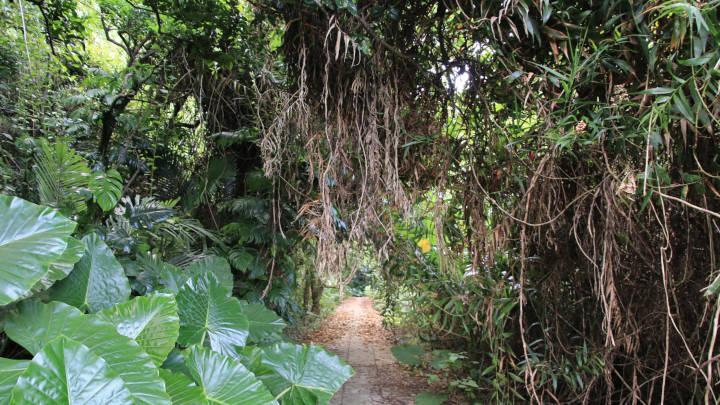 タコ公園の遊歩道にあるガジュマルの木
