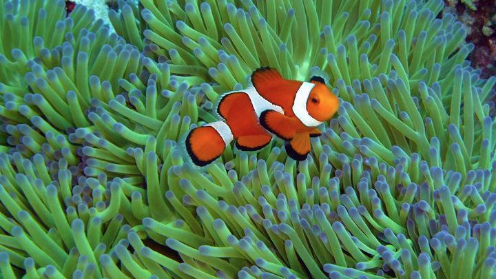 カクレクマノミ 八重干瀬ダイビング